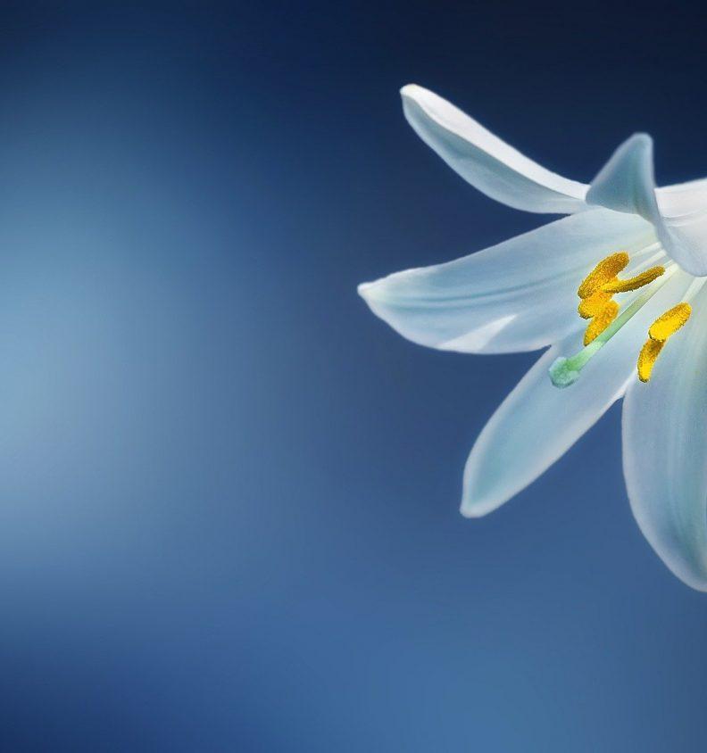 Vacker vit lilja